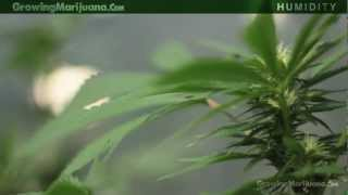 Humidity - Marijuana Growing Humidity Moisture - Growing Weed - 13(, 2012-02-29T13:29:34.000Z)