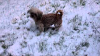 Tiny Teddy Bear Zuchon's Www.tinyteddys.com