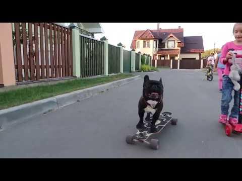 Skateboarding Bulldog Nord Boss & Kids/Бульдог на скейте Норд Босс