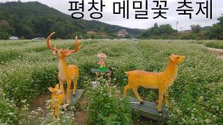 평창효석문화제(봉평 메밀꽃축제)&백일홍꽃밭~메밀…