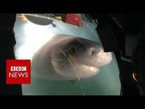 Blue Planet II behind the scenes: The moment giant sharks attack crew submarine  - BBC News