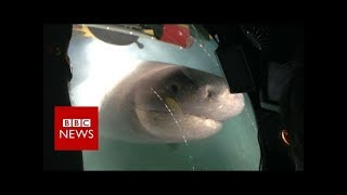 Blue Planet II behind the scenes: The moment giant sharks attack crew submarine  - BBC News thumbnail