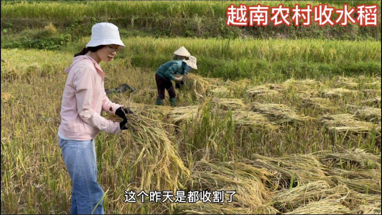 越南阿梅回老家幫爸媽收水稻了