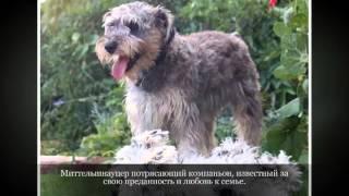 Миттельшнауцер Средние породы собак