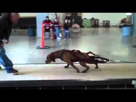 Pit Bull Vs Bulldog Americano Força Competição De Tração De