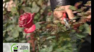 Repeat youtube video Ingrijirea trandafirilor la Totul despre casa