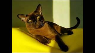Бурма европейская кот соболиного окраса RoyalBurm Hermes 9 месяцев