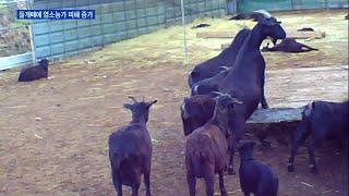 야생화한 들개떼에 염소농가 잇단 피해…포획단 운영해야