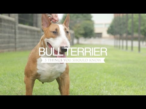 BULL TERRIER FIVE THINGS YOU SHOULD KNOW