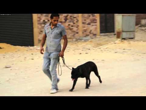 rehabilitation unbalanced cane corso