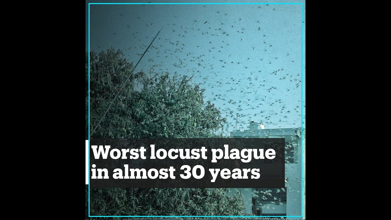 India sees the worst locust plague in almost 30 years ...