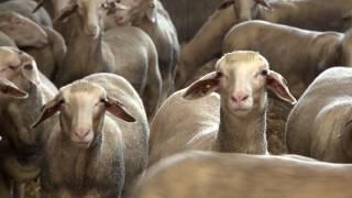 Schaf- und Ziegenzucht in Österreich