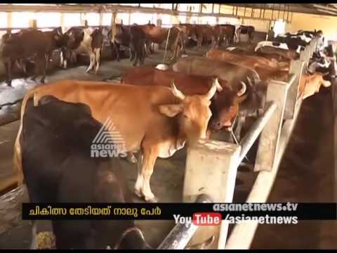 Cattle Diseases Brucellosis spread to human beings in palakkad