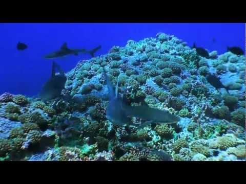 Tiburón en Salas y Gómez