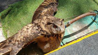 Плавленая сова на солнцепёке