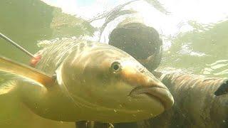 Подводная охота на белого амура летом
