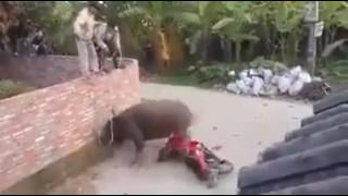 Angry buffalo riding motor bike/ two wheeler/ amazing quality of bike.. so funny