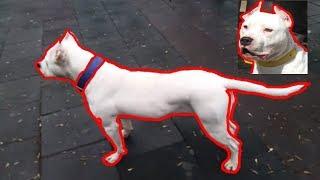 Pitbull Beyaz Tyson Dişi Köpek!