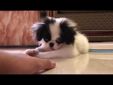 Japanese chin puppy being cute! -Yoko 狆