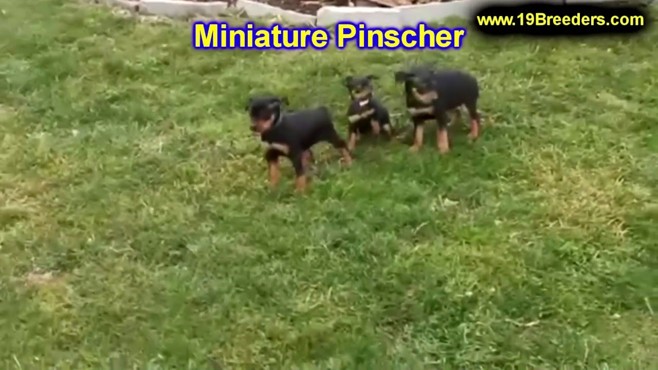 Miniature Pinscher, Puppies, Dogs, For Sale, In Montgomery, Alabama, AL,  19Breeders, Hoover, Auburn