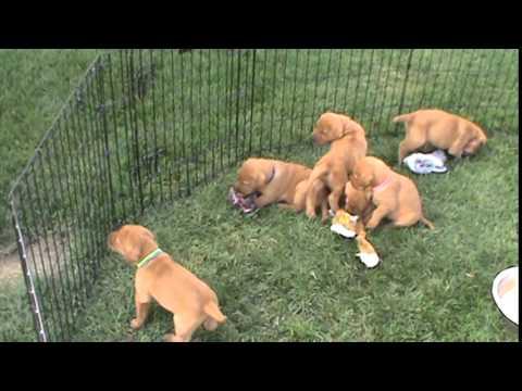 Fox red lab puppies
