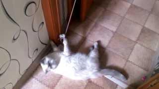 Экзотическая кошка. Плюшка паркурщица.