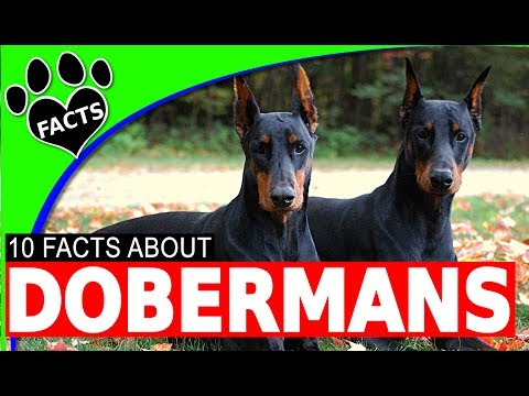 Doberman Pinscher Dogs 101 - Dobie Facts