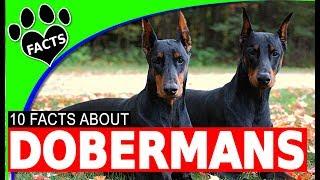 Doberman Pinscher Dogs 101 Most Popular Dog Breeds Dobie