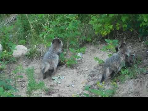 Finnish Raccoon dog puppies / Supikoiran pentuja