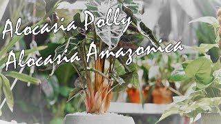 Alocasia Polly Care Tips / Alocasia Amazonica