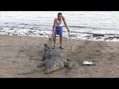 Вопрос: Умеют ли крокодилы бегать Насколько быстро бегают крокодилы?