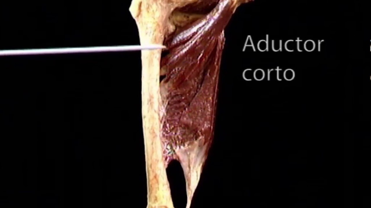 musculos aductores de la cadera - YouTube