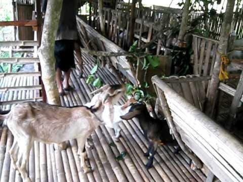 sagbayan goat farm,BOHOL
