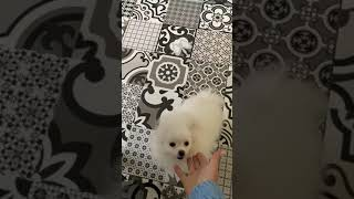 Белый щенок померанский шпиц тип мишка