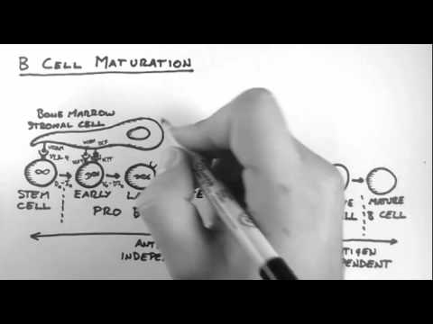 B Cells 3 - Maturation