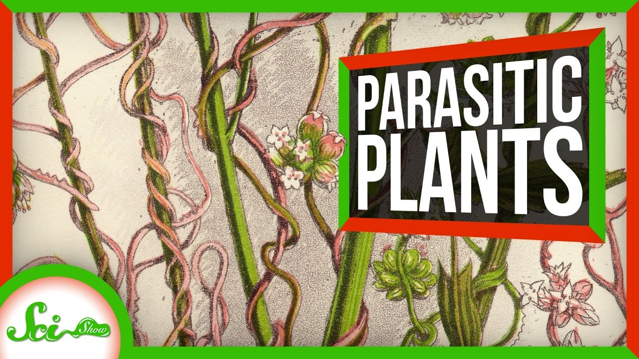 This Parasitic Plant Stole Over 100 Genes From Other Plants   SciShow News