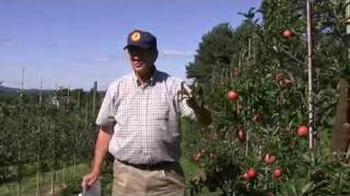 4 rules for pruning tall-spindle apples