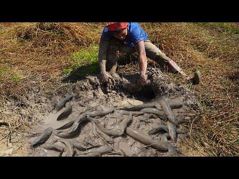 Amazing Fishing Dry Season 2021 - Hunting Fisher Find U0026 Catching Snakehead Fish Underground Dry Soil