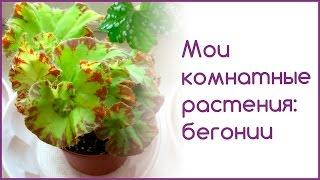 Мои комнатные растения: бегонии(Сегодня покажу, как растут мои каудексные бегонии и как они выглядят перед стрижкой и пересадкой. Другие..., 2016-02-11T13:45:51.000Z)