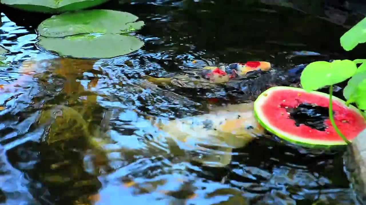 Training koi fish youtube for What is a koi fish