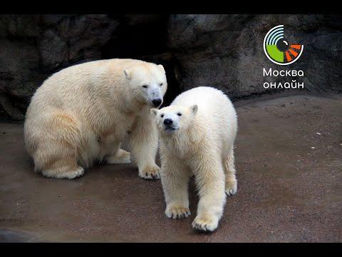 Международный день полярного медведя в Московском Зоопарке Москва онлайн