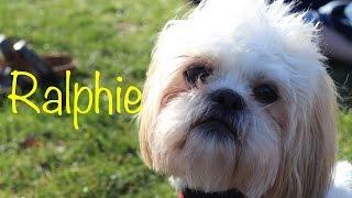 Ralphie, My Shih Tzu