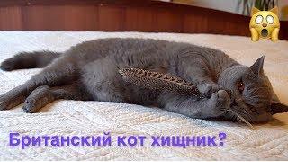 БРИТАНСКИЙ КОТ НАСТОЯЩИЙ ХИЩНИК / british cat HARRY