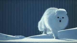 How To Survive As A Tiny Arctic Fox - Wild Alaska - BBC