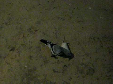 Shrike kills mouse