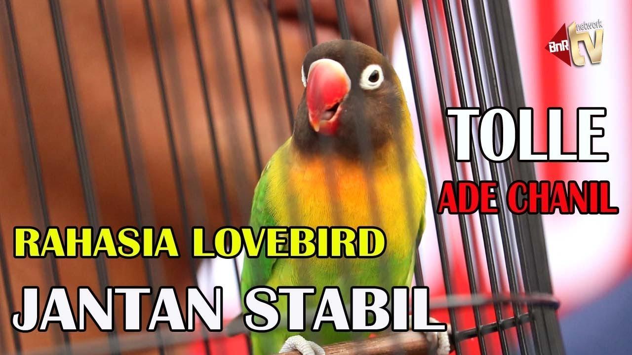 Inilah Cara Rawatan Lovebird Jantan Tanpa Untulan Tolle Stabil Milik Ade Chanil Abc Bf Youtube