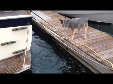 Sea Otter vs Australian Cattle Dog