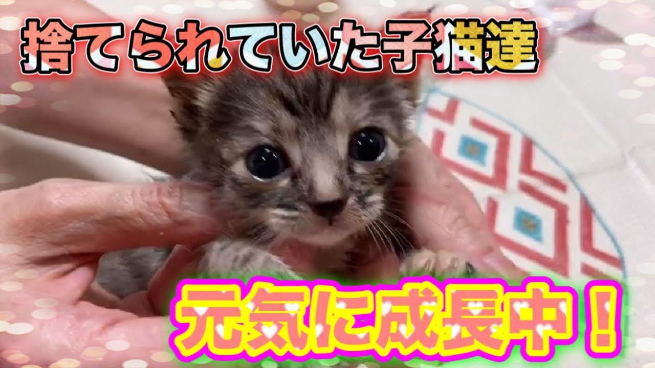 ダンボールに捨てられた乳飲み子4匹達がすくすくと成長してます!【4 kittens】