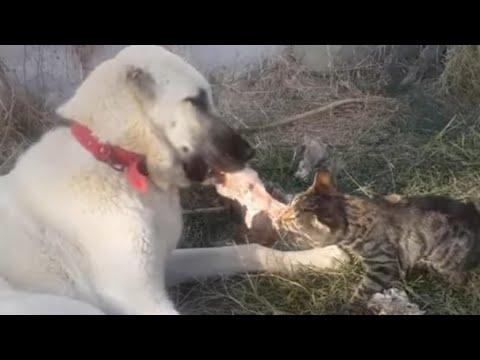 KaNGaL vs Hungry Cat