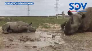 Mud, glorious mud! Baby Rhino takes mud bath